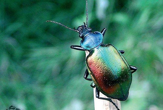 Igen ritkán fordul elő az aranyos bábrabló, az egyik legszínpompásabb bogarunk, amely a lomberdőkben tarrágást okozó gyapjaslepke fő pusztítója.