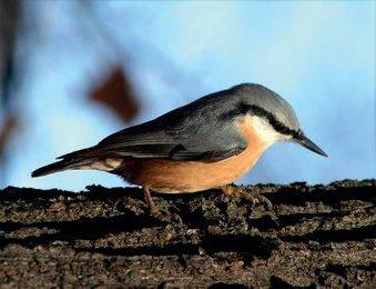 A csuszka a fán lefelé kúszik és a kéreg alól szedeget rovarokat. A védett madár odúban költ és annak nyílását sárral tapasztja be.